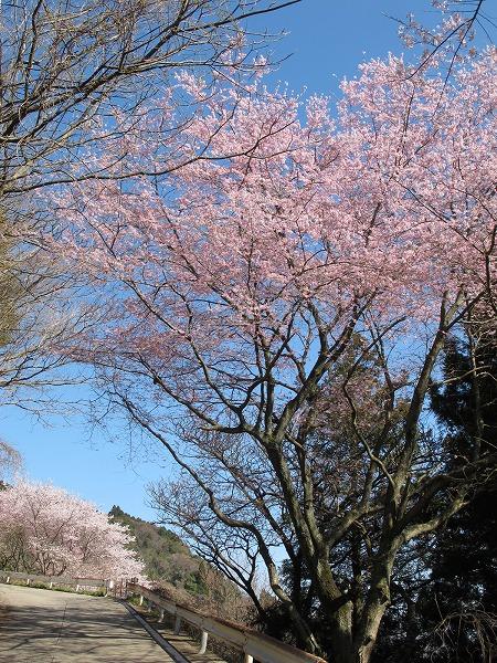 灰ヶ峰の桜2-4