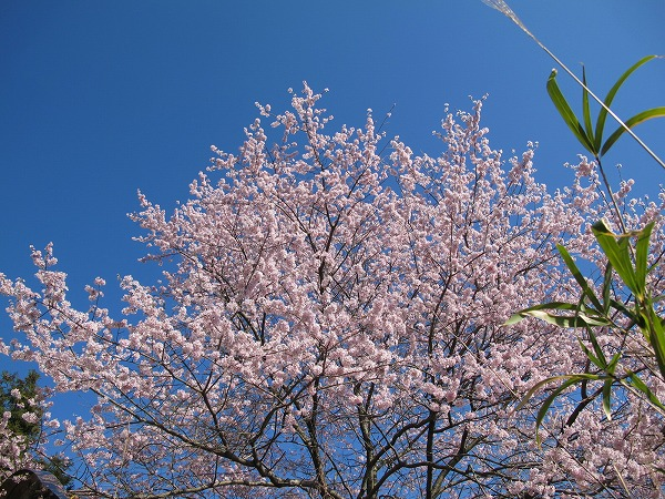 灰ヶ峰の桜2-5