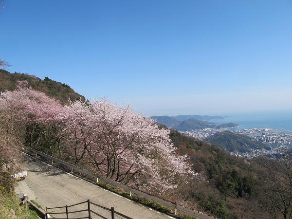 灰ヶ峰の桜2-6