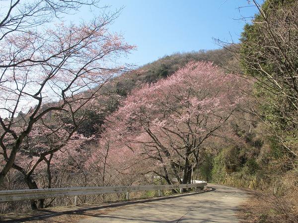 灰ヶ峰の桜2-7