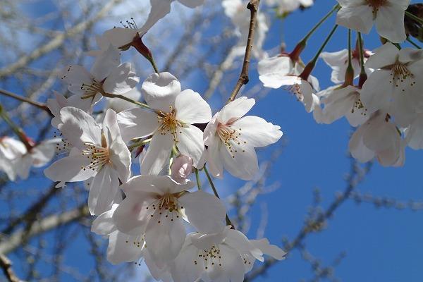 平和公園の桜2