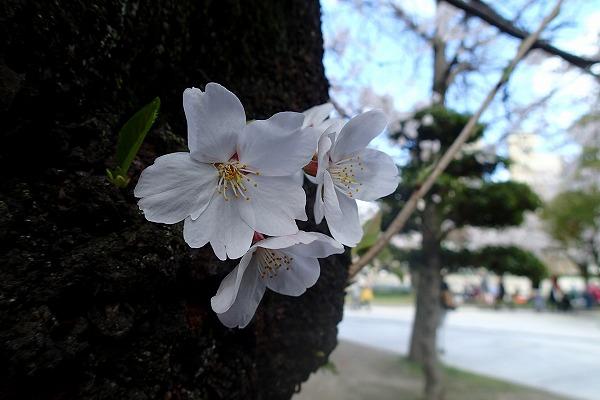 平和公園の桜3