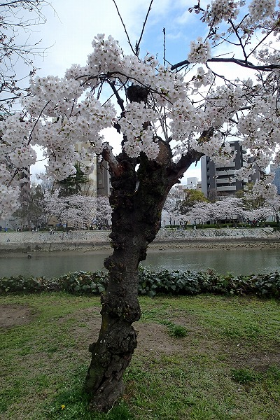 平和公園の桜4