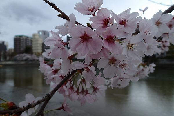 平和公園の桜5