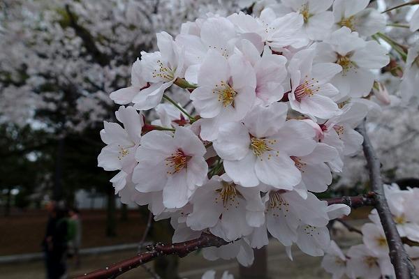 平和公園の桜6