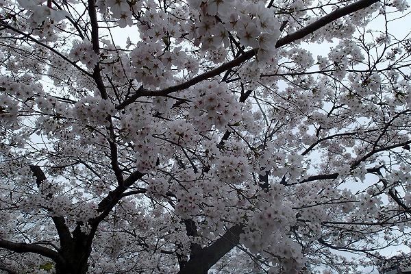 平和公園の桜7