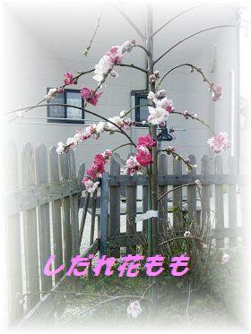 花もも1 ブログ