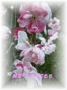 花もも2 ブログ