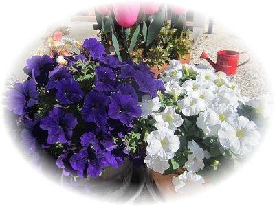 518玄関先の花 ブログ