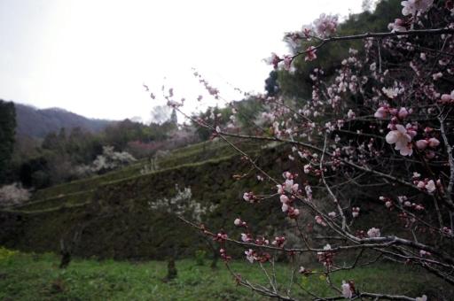 清水谷製錬所跡の梅
