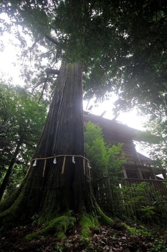 須佐神社本殿と大杉