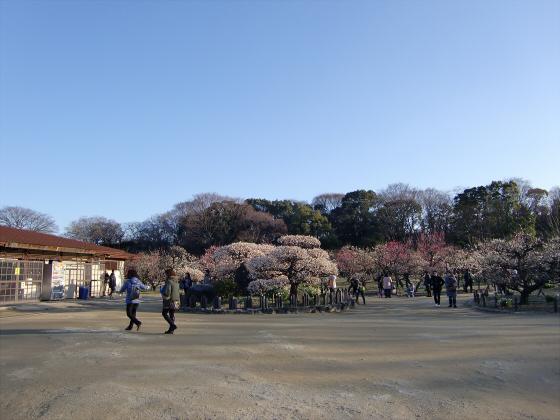 大坂城公園梅林2014-11