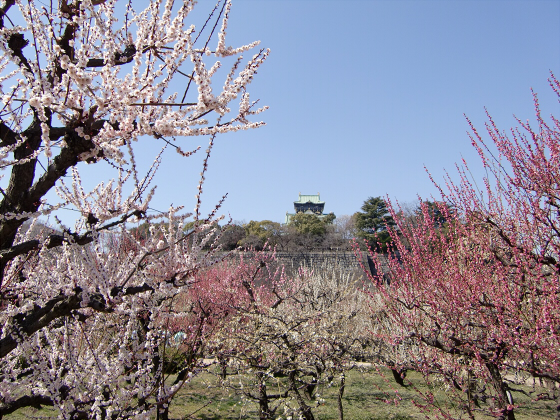 大阪城公園梅林20131-02