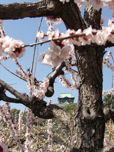 大阪城公園梅林20131-03