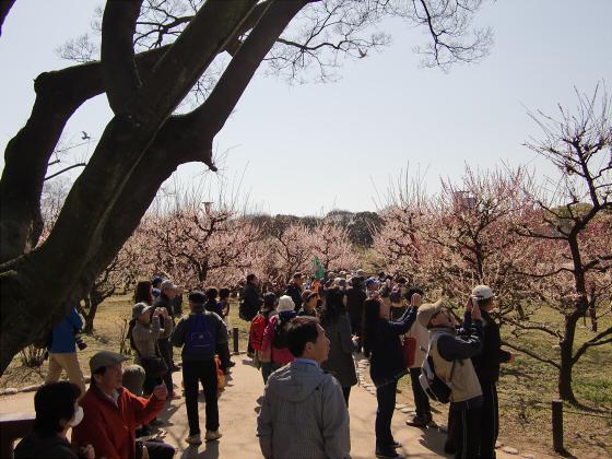 大阪城公園梅林20131-09