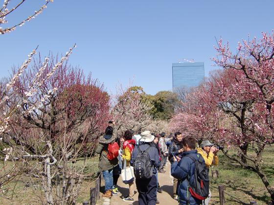 大阪城公園梅林20131-10