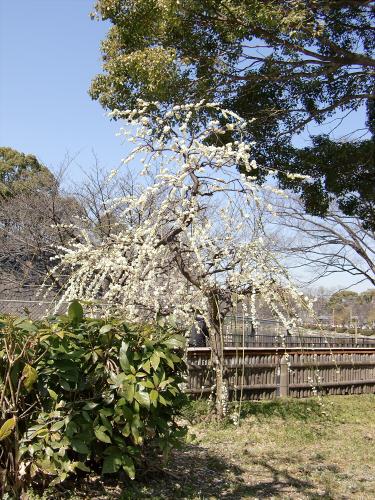 大阪城公園梅林20131-12