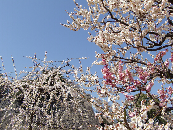 大阪城公園梅林20131-13