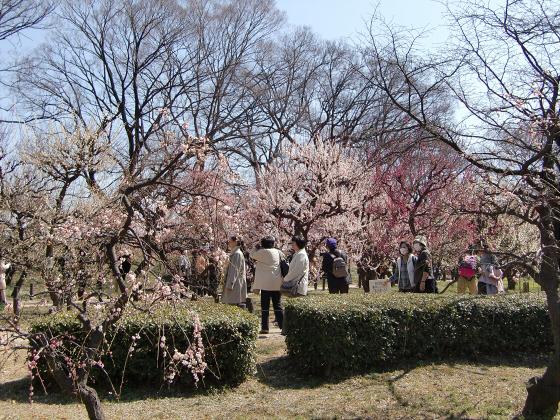 大阪城公園梅林20132-09