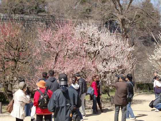 大阪城公園梅林20132-10