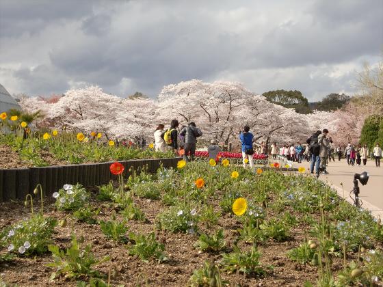 京都府立植物園の桜2014-01