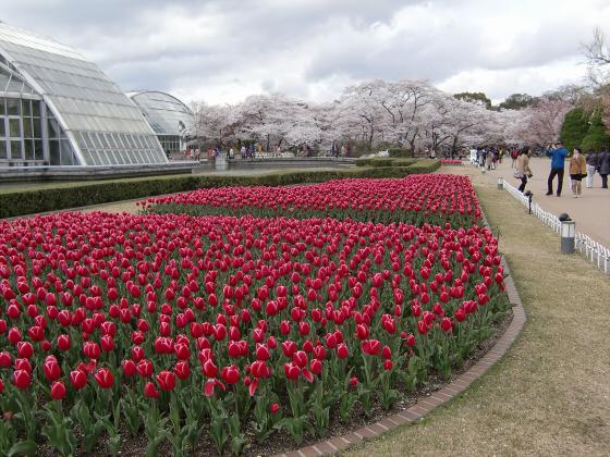 京都府立植物園の桜2014-02