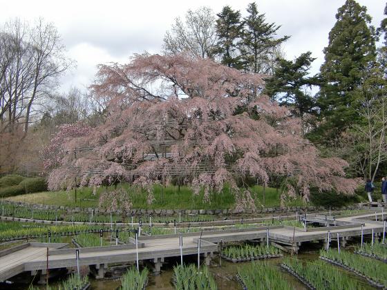 京都府立植物園の桜2014-03