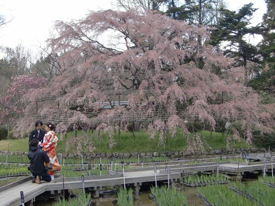 京都府立植物園の桜2014-04
