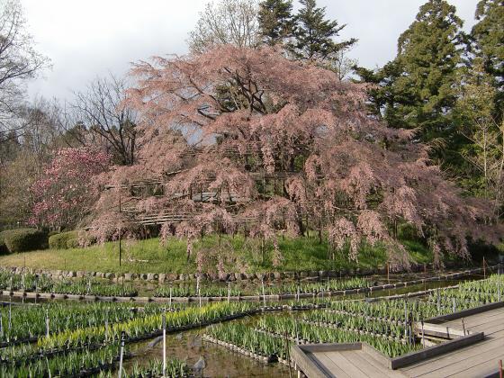 京都府立植物園の桜2014-05