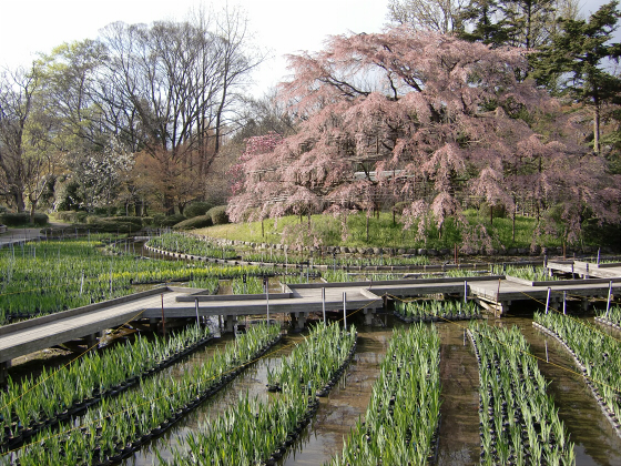 京都府立植物園の桜2014-06