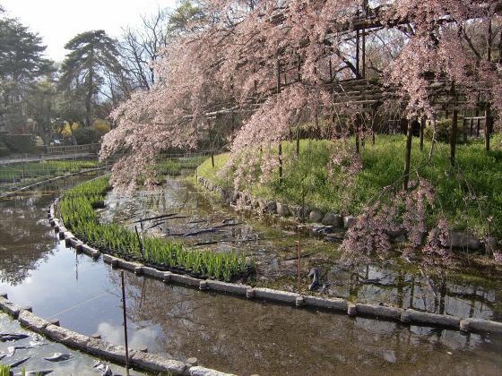 京都府立植物園の桜2014-08