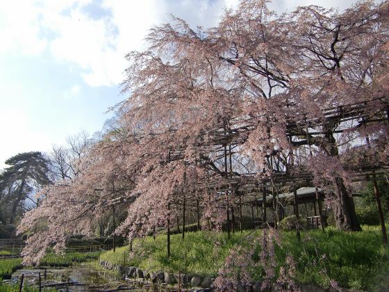 京都府立植物園の桜2014-09