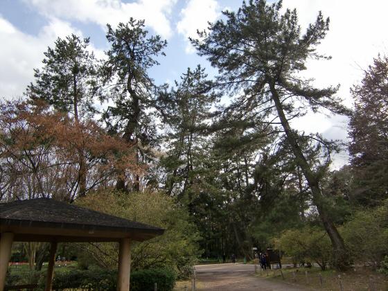 京都府立植物園の桜2014-13