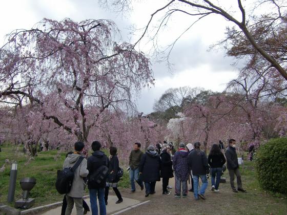 京都府立植物園の桜2014-15