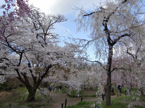 京都府立植物園の桜2014-16