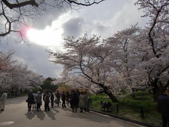 京都府立植物園の桜2014-17