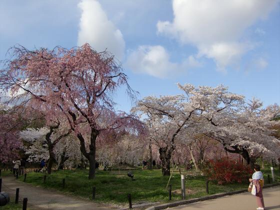 京都府立植物園の桜2014-18