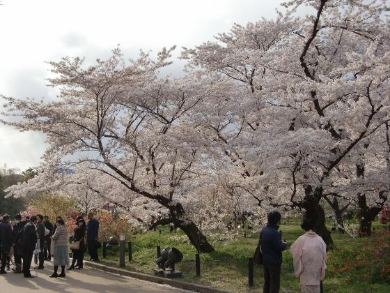 京都府立植物園の桜2014-19