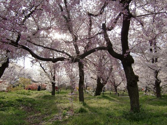 京都府立植物園の桜2014-20