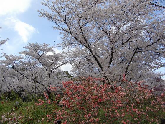 京都府立植物園の桜2014-22