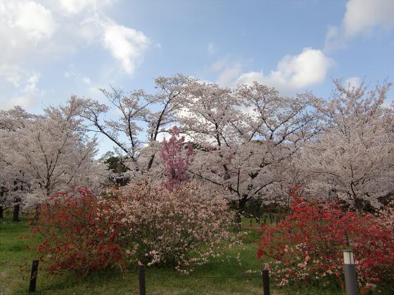 京都府立植物園の桜2014-23