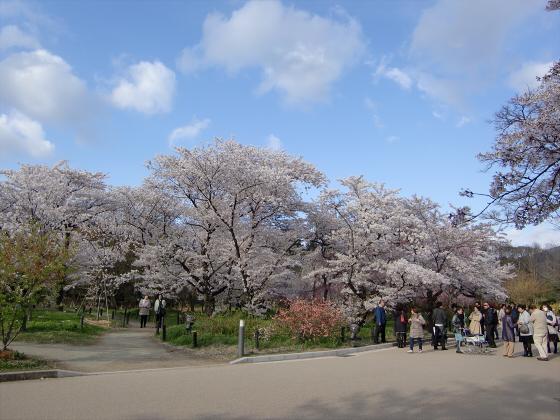 京都府立植物園の桜2014-24