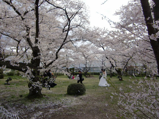 京都府立植物園の桜2014-25