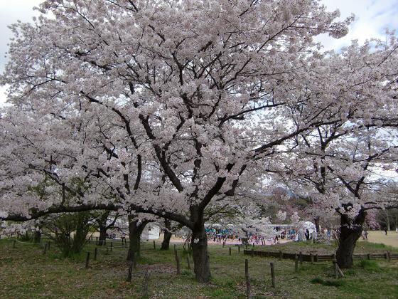 京都府立植物園の桜2014-29