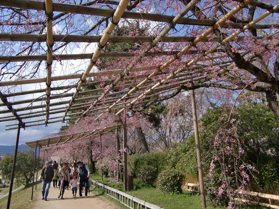 半木の道近辺の桜01
