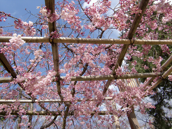 半木の道近辺の桜02