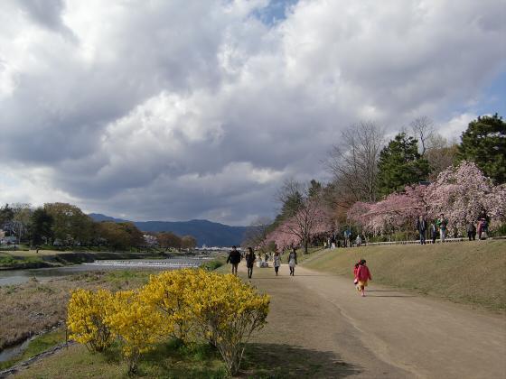 半木の道近辺の桜04