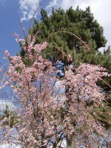半木の道近辺の桜05