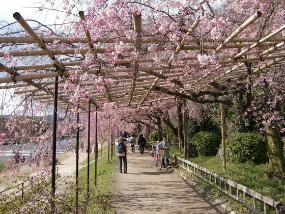 半木の道近辺の桜08