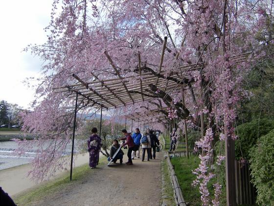 半木の道近辺の桜09
